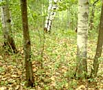 Aspen and hardwoods