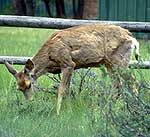 Deer with chronic wasting disease