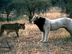 A female lion shows interest in this lion dummy. The research shows females are most interested in lions with dark manes, since they are an indication of good health and strength. (Photo courtesy of the Bell Museum of Natural History)