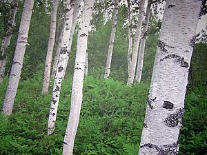 """The image """"http://news.minnesota.publicradio.org/features/2005/03/10_hemphills_birchbark/images/trees_large.jpg"""" cannot be displayed, because it contains errors."""