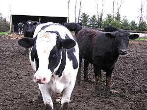 As part of the National Animal Identification System, these cows would each receive a radio frequency ear tag containing a unique 15-digit identification number. (MPR Photo/Lorna Benson)