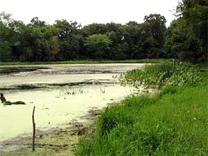This pond has extremely high levels of parasites and frog deformities. It's located just outside of the Twin Cities.   (Photo Courtesy of Pieter Johnson, University of Wisconsin)